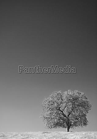 usa california lone oak tree in