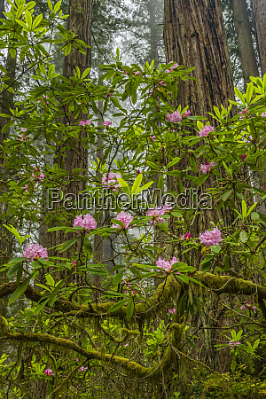 usa california redwoods national park rhododendrons