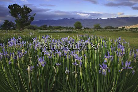 usa california bishop wild iris blooming