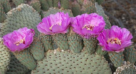 california beaver tail cactus opuntia basilaris