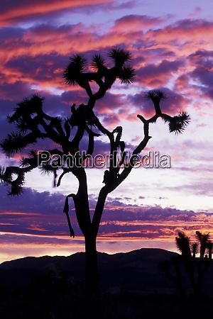 north america usa california joshua tree