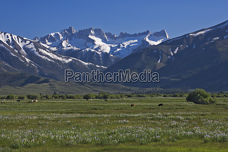 usa california sierra nevada mountains cattle