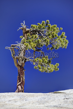 usa california yosemite national park gnarled