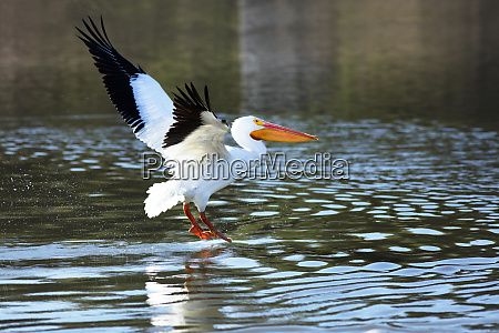 usa california american white pelican flying