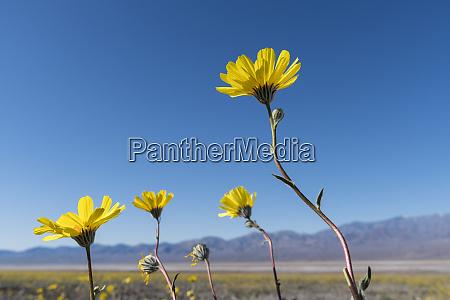california desert sunflowers reach towards the