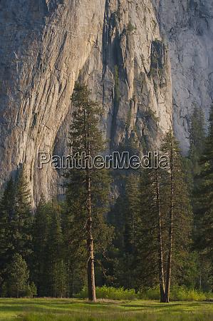usa california yosemite national park ponderosa