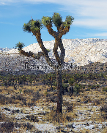 joshua trees with winter snowfall joshua