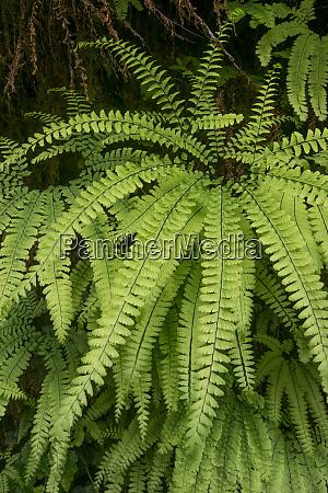 usa california five finger fern western