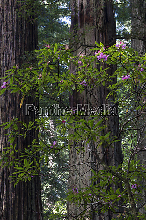 usa california costal redwood sequoia sempervirens