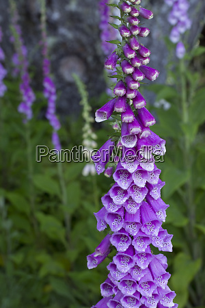 usa california foxglove digitalis purpurea bald