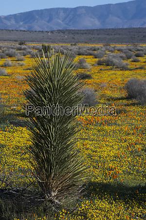 usa california joshua trees yucca brevifolia