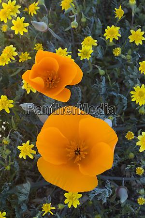 usa california california poppies eschscholzia californica