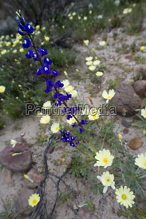 usa california lupine lupinus sp and