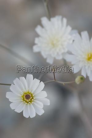 usa california gravel ghost atrichoseris platyphylla