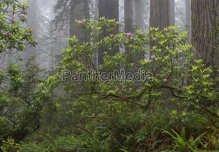 usa california misty morning with rhododendron