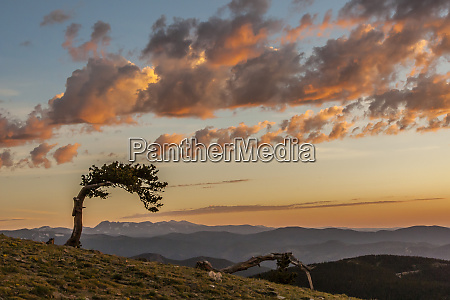 usa colorado mt evans bristlecone pine