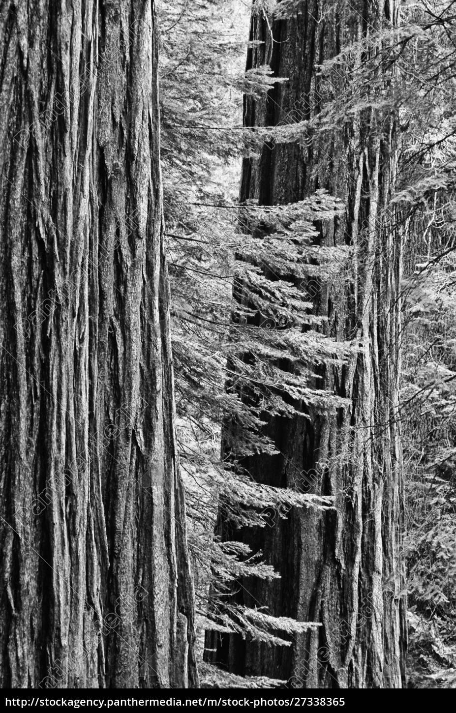usa, , california, , yosemite, national, park., sequoia - 27338365