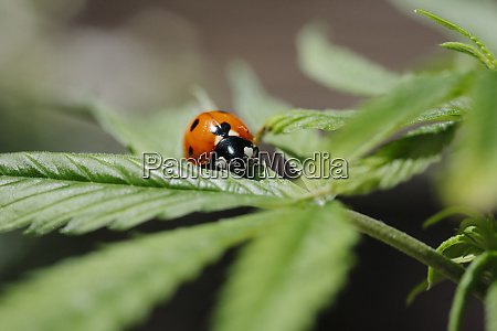 the ladybug and the cannabis plant