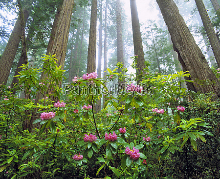 usa california redwood np rhododendron bloom