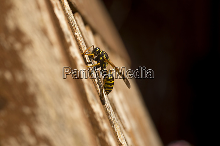 paper wasp gathering wood for building