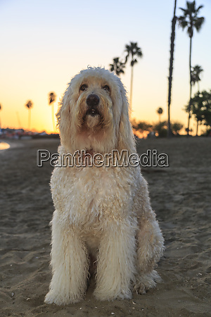golden doodle at mission bay beach