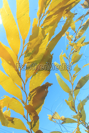 kelp paddies or drift kelp giant
