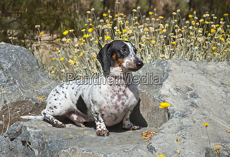 doxen sitting on a rock with