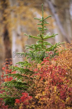 usa colorado san juan mountains pine