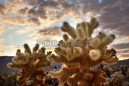 sunset over teddy bear cholla cylindropuntia