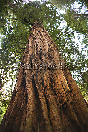 large redwood tree looking straight up