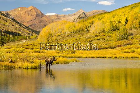 usa colorado gunnison national forest moose
