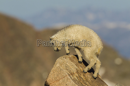 usa colorado mt evans mountain goat