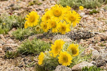 usa colorado mt evans alpine sunflowers