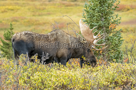 usa colorado cameron pass bull moose