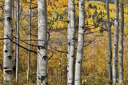 aspen groves kebler pass autumn gold