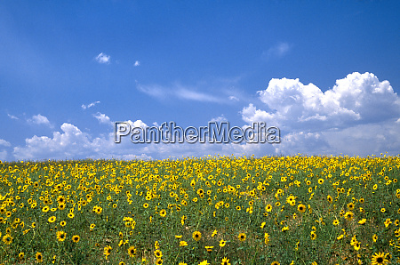 na usa colorado sunflowers wild sunflowers