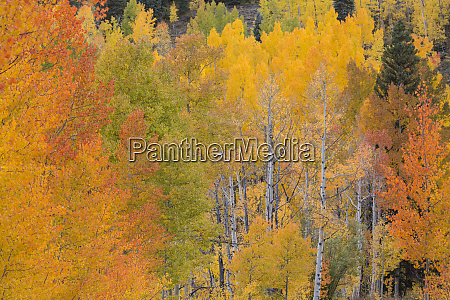 usa colorado san juan mountains aspens