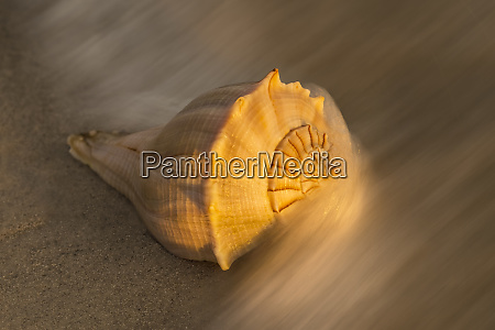 usa florida sanibel island lightning whelk