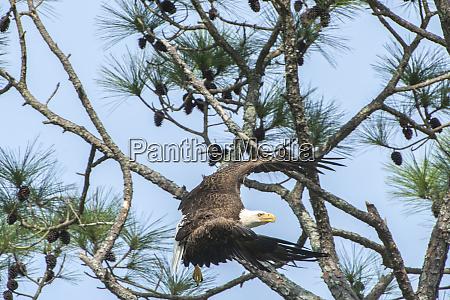 usa florida daytona bald eagle flying