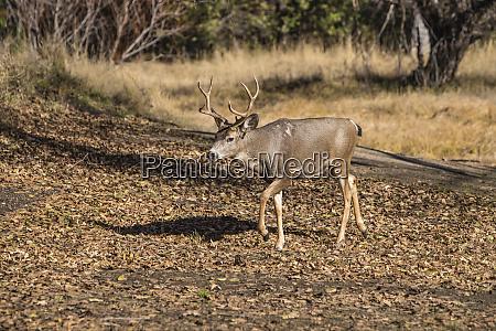 usa, , california, , yosemite, national, park., buck - 27339250