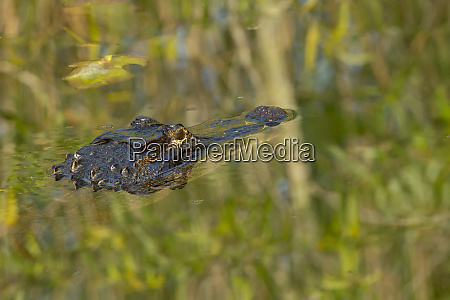 american alligator alligator mississippiensis among the