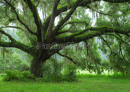 beautiful southern live oak tree quercus