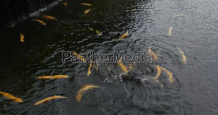 koi fish swim in the water