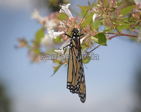 monarch butterfly danaus plexippus florida