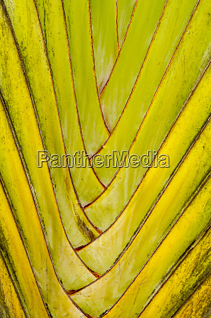 travelers palm ravenala madagascariensis byodo in