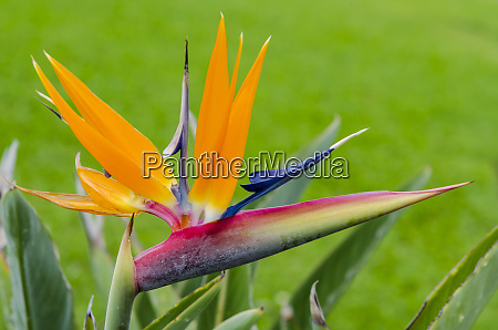 bird of paradise flower strelitzia waimea