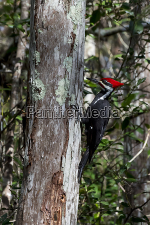 usa florida corkscrew swamp pileated woodpecker