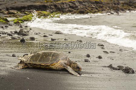 usa hawaii punaluu black sand beach