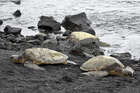 ridleys sea turtles on black sand