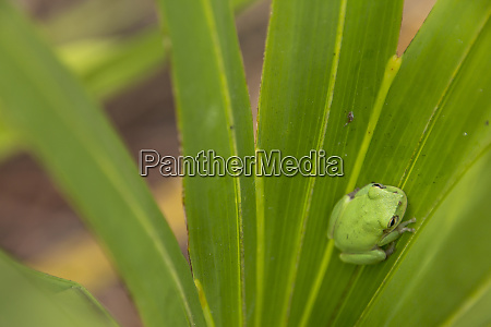 squirrel tree frog in palmetto everglades